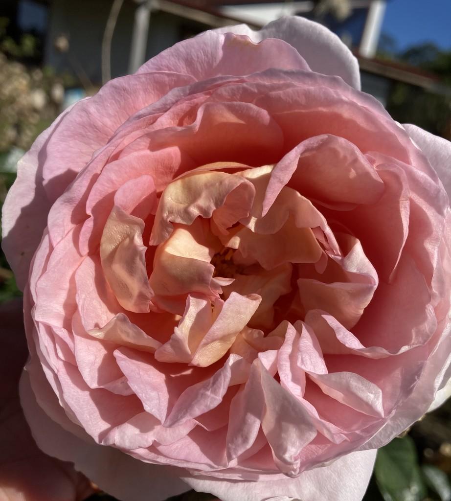 A David Austin rose I believe T variety it had a beautiful perfume . by Dawn