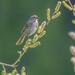 Song Sparrow  by nicoleweg