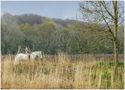 2nd May 2021 - On our morning stroll this horse and rider was on the opposite side of the river - luckily I had my zoom lens on!