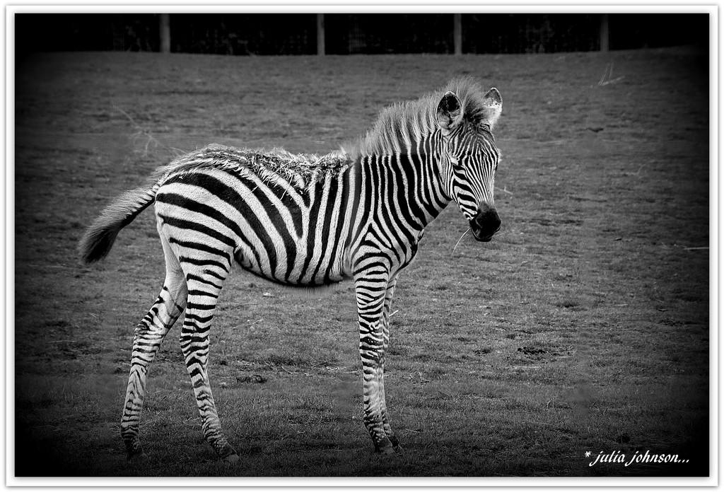 Baby Zebra... by julzmaioro