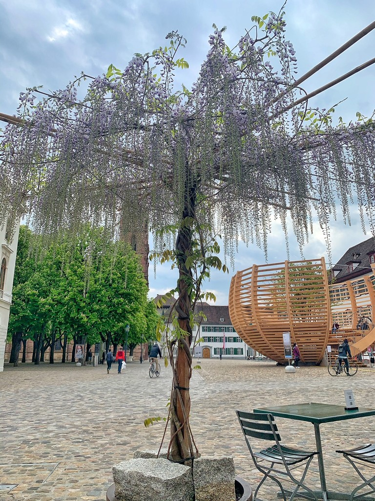 The wisteria tree  by cocobella