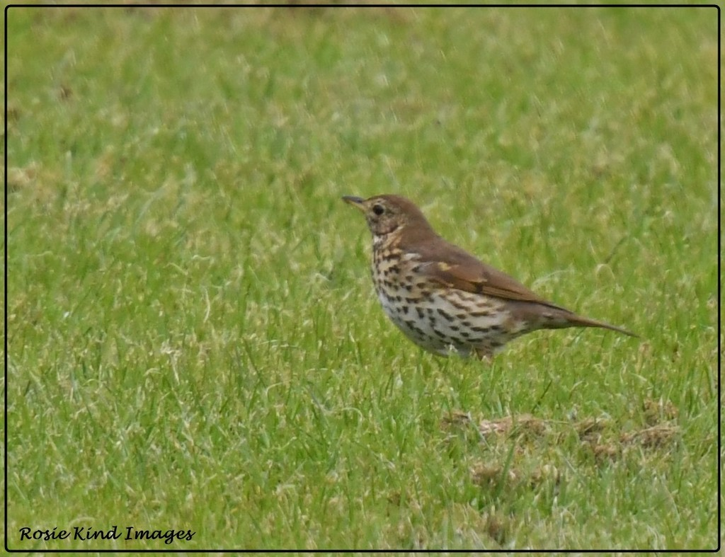 Another song thrush by rosiekind
