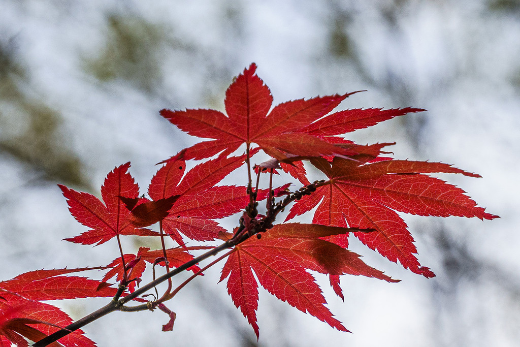Red Maple by k9photo