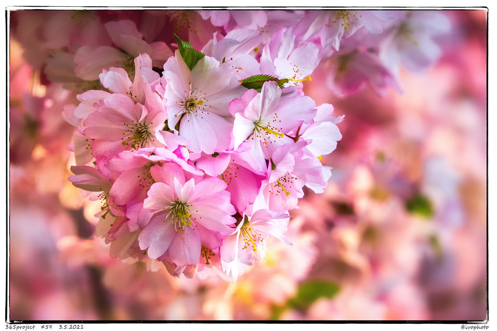 Flowering cherry. by ivophoto