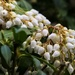 Close up of Pieris flowers