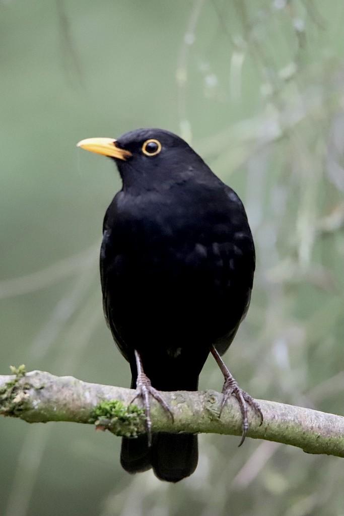 Blackbird by phil_sandford
