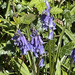 1st bluebell sighting of the year