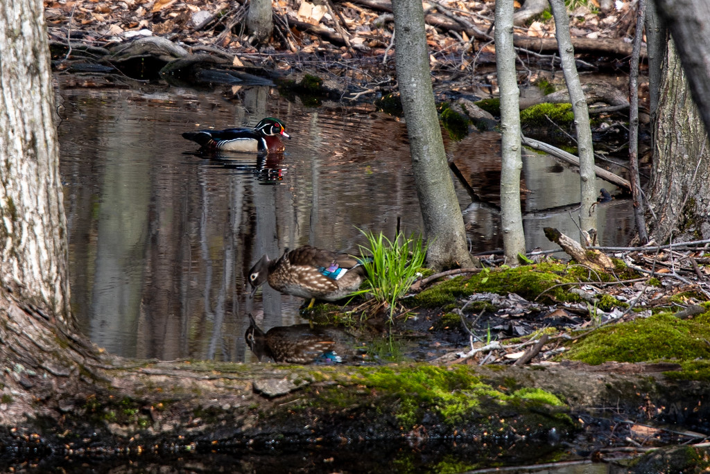 Wood Duck Drake and Hen by dora
