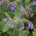 bumblebee in borage