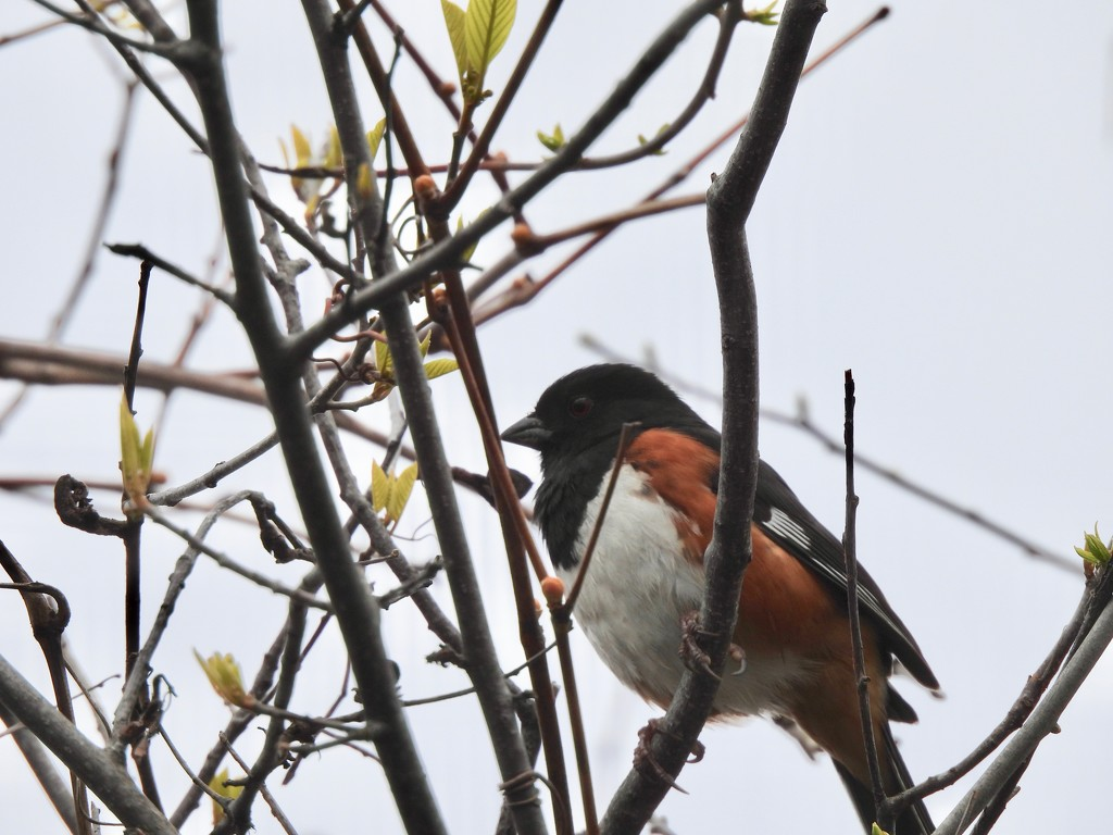 Eastern Towhee by frantackaberry
