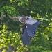LHG-9996- Heron stick gathering