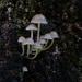 the fungi family