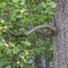 Tulip Poplar Squirrel