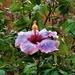 Hibiscus & Raindrops ~