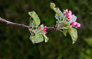 2nd May 2021 - Apple Blossom (Helios 44-2 Vintage lens)