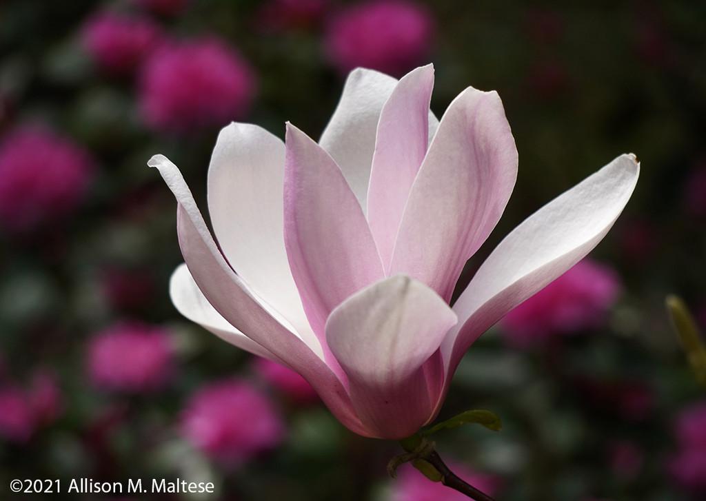 Magnolia Blossom by falcon11