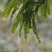 Raindrops on the Kowhai Tree