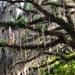 Live oak and Spanish moss