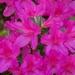 April azaleas...