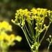 Honey bee on the ragwort...