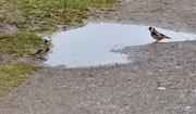 4th May 2021 - Sharing a puddle
