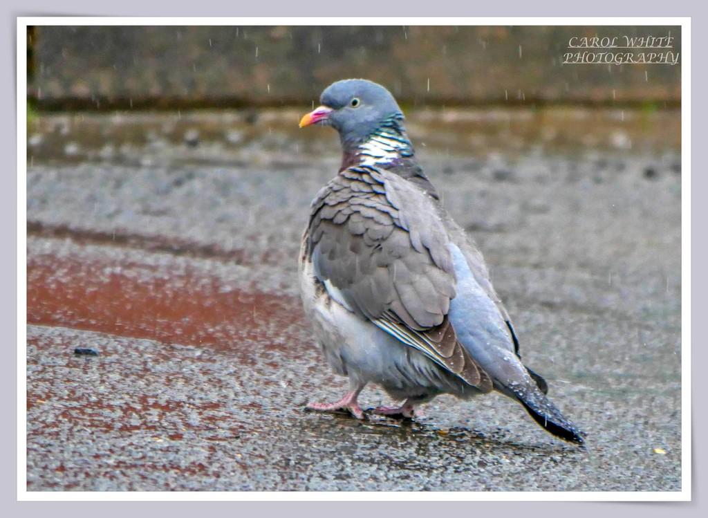 Wood Pigeon In The Rain by carolmw