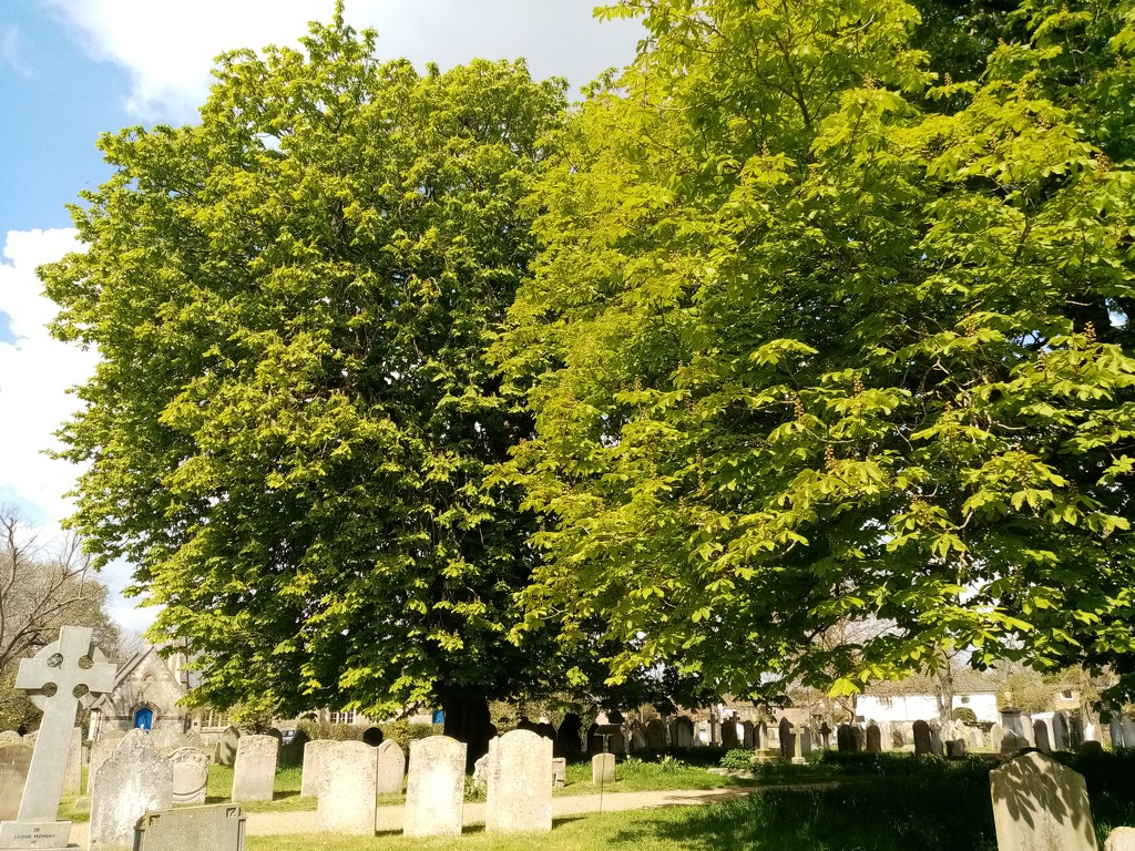 Horse Chestnut Trees by g3xbm