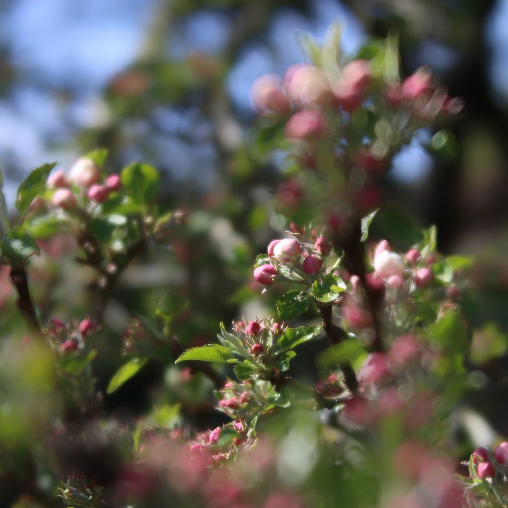 Apple Blossom  by motherjane