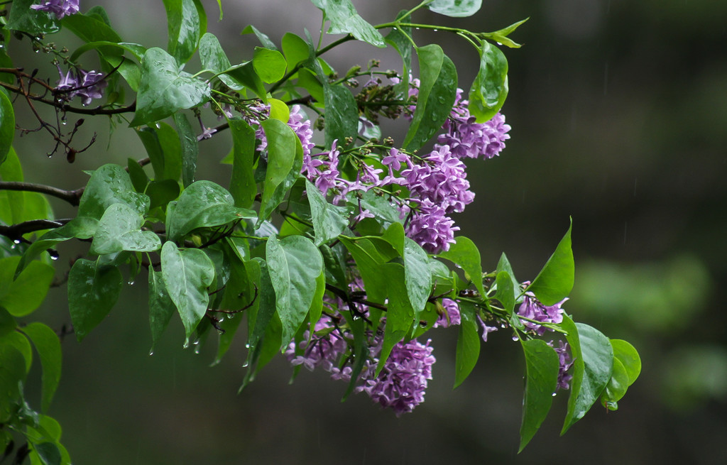 Lilacs by mittens