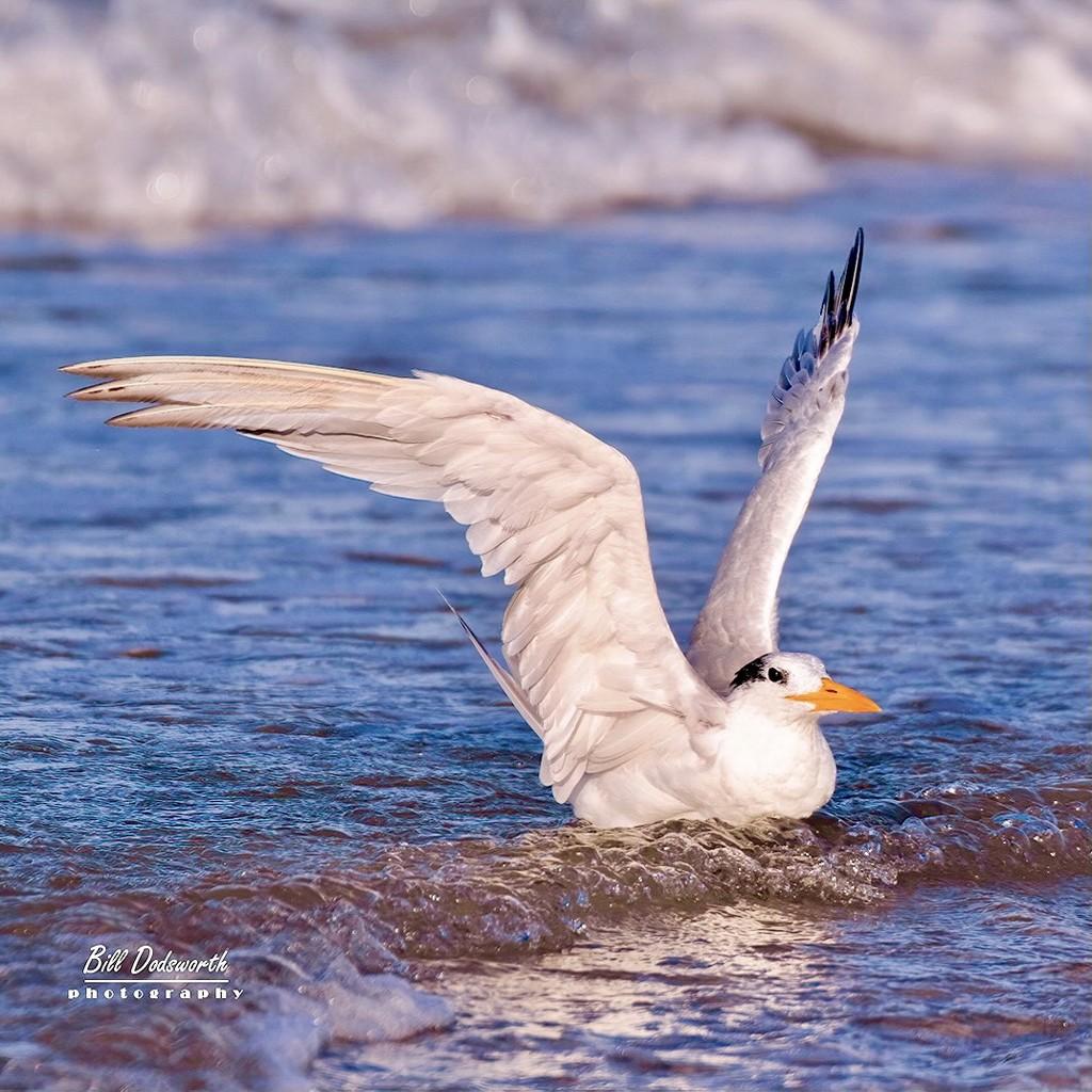 Royal tern  by photographycrazy