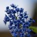 Ceanothus macro blue