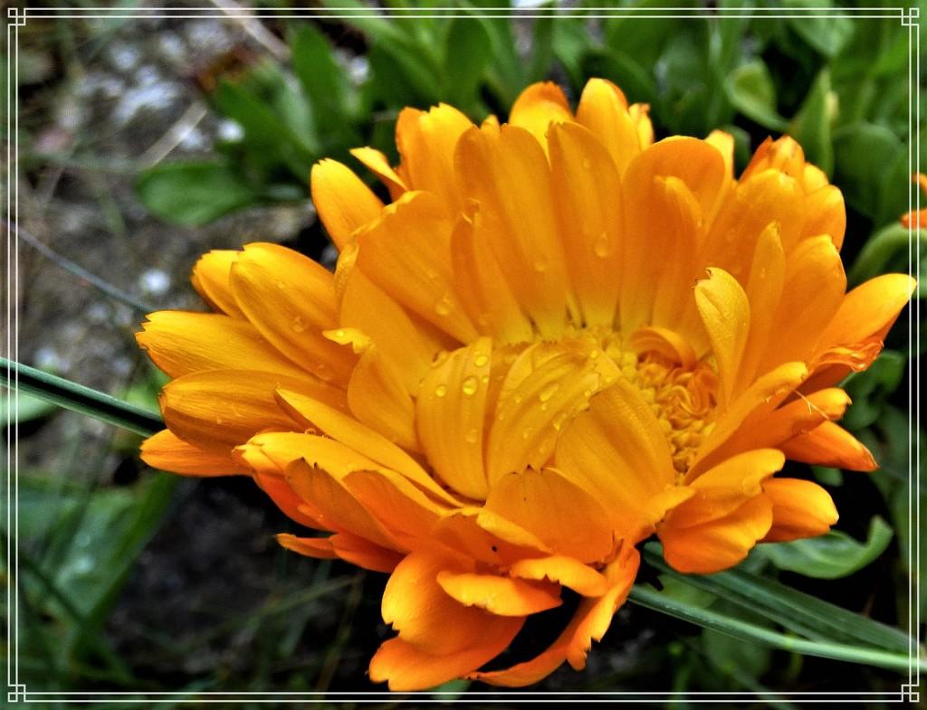 Marigold by beryl