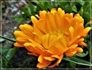 4th May 2021 - Marigold