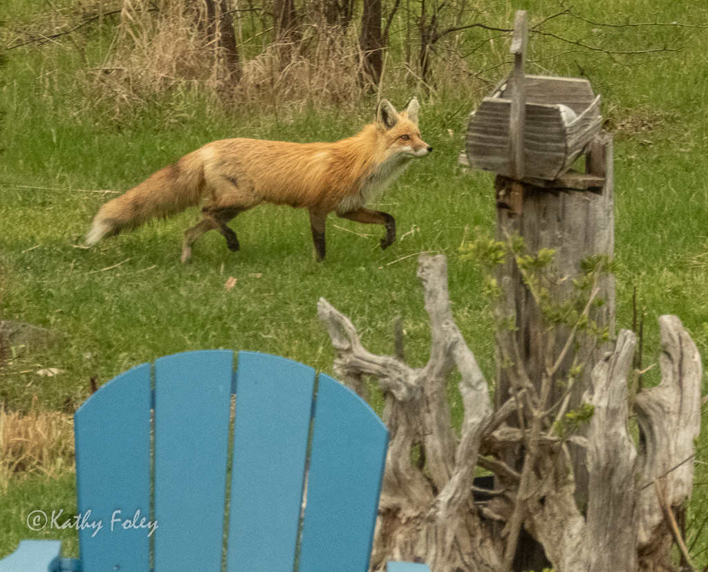 I had a visitor in my backyard! by radiogirl