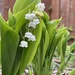 My favorite. Lily of the Valley