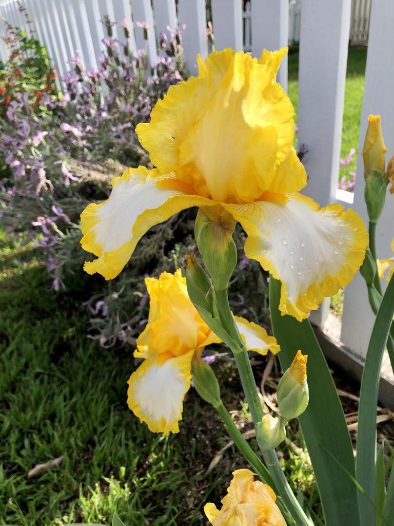 Iris  by loweygrace