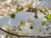 3rd May 2021 - Dogwood Tree