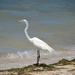 The Great White Egret by dogwoman