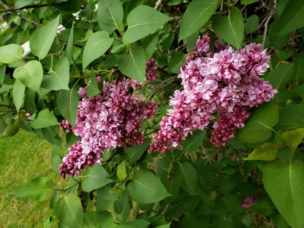 Lilacs by lilhippiemama