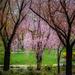 Japanese Cherry Splendour
