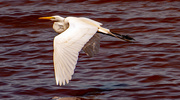 4th May 2021 - The Egret Took Off!