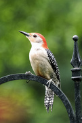 4th May 2021 - Red Bellied Woodpecker