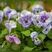 Cheerful Violas