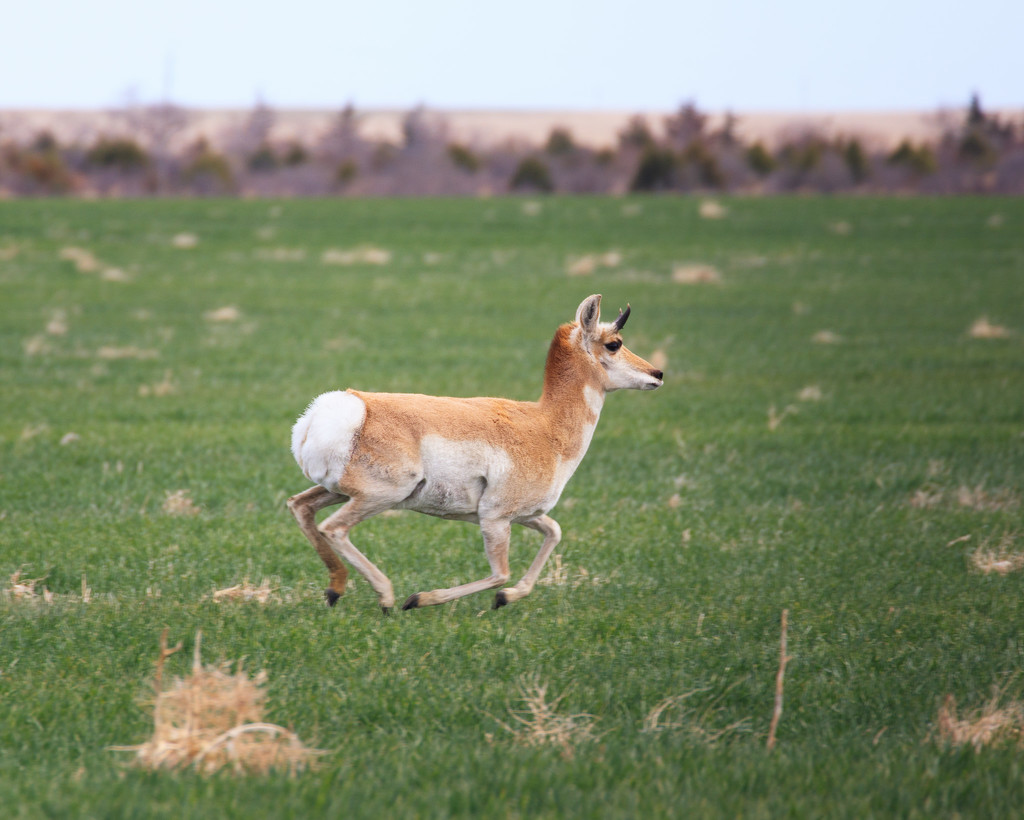 pronghorn by aecasey