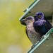 Mr and Mrs Purple Martin Stand Guard