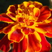Marigold just loved how the sun seemed to have intensified the colour by Dawn