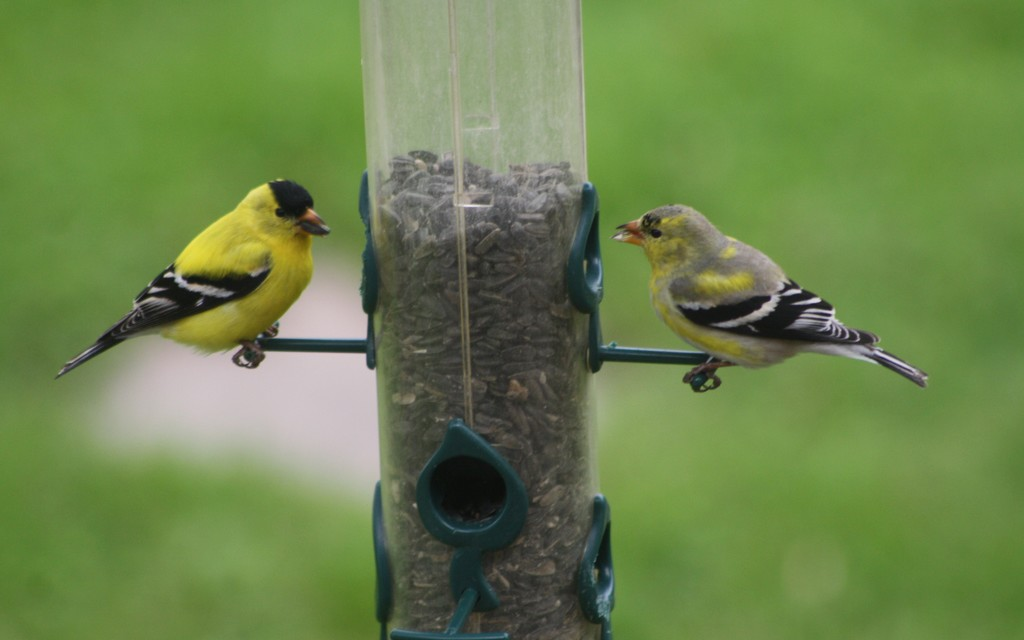 The Finches have returned by bruni