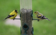5th May 2021 - The Finches have returned