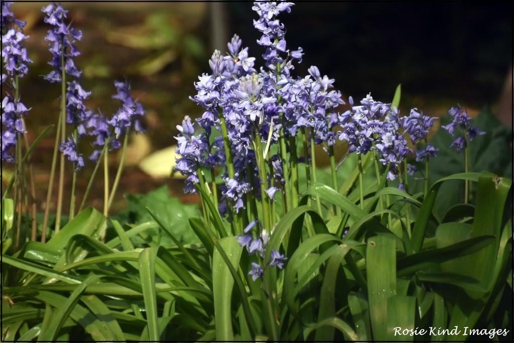 Garden bluebells by rosiekind