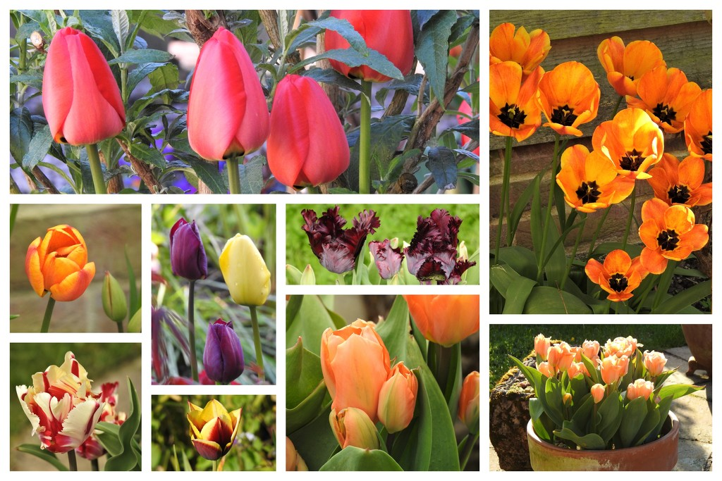 Tulips In Our Garden by susiemc